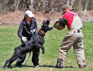 Tammy handles Jade von der Leidenschaft while Ron does Helper work on a club training day. 2013