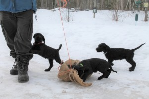 8 week old Giant Schnauzer pups in the snow.